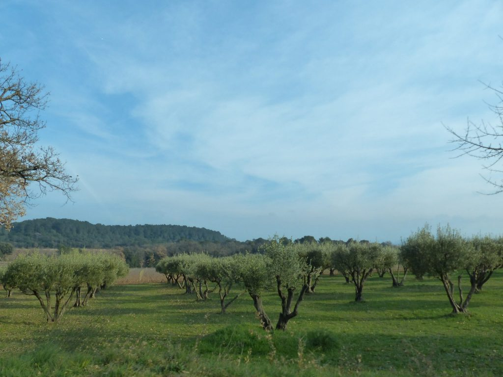 Des oliviers à perte de vue ... vous êtes bien en Provence.
