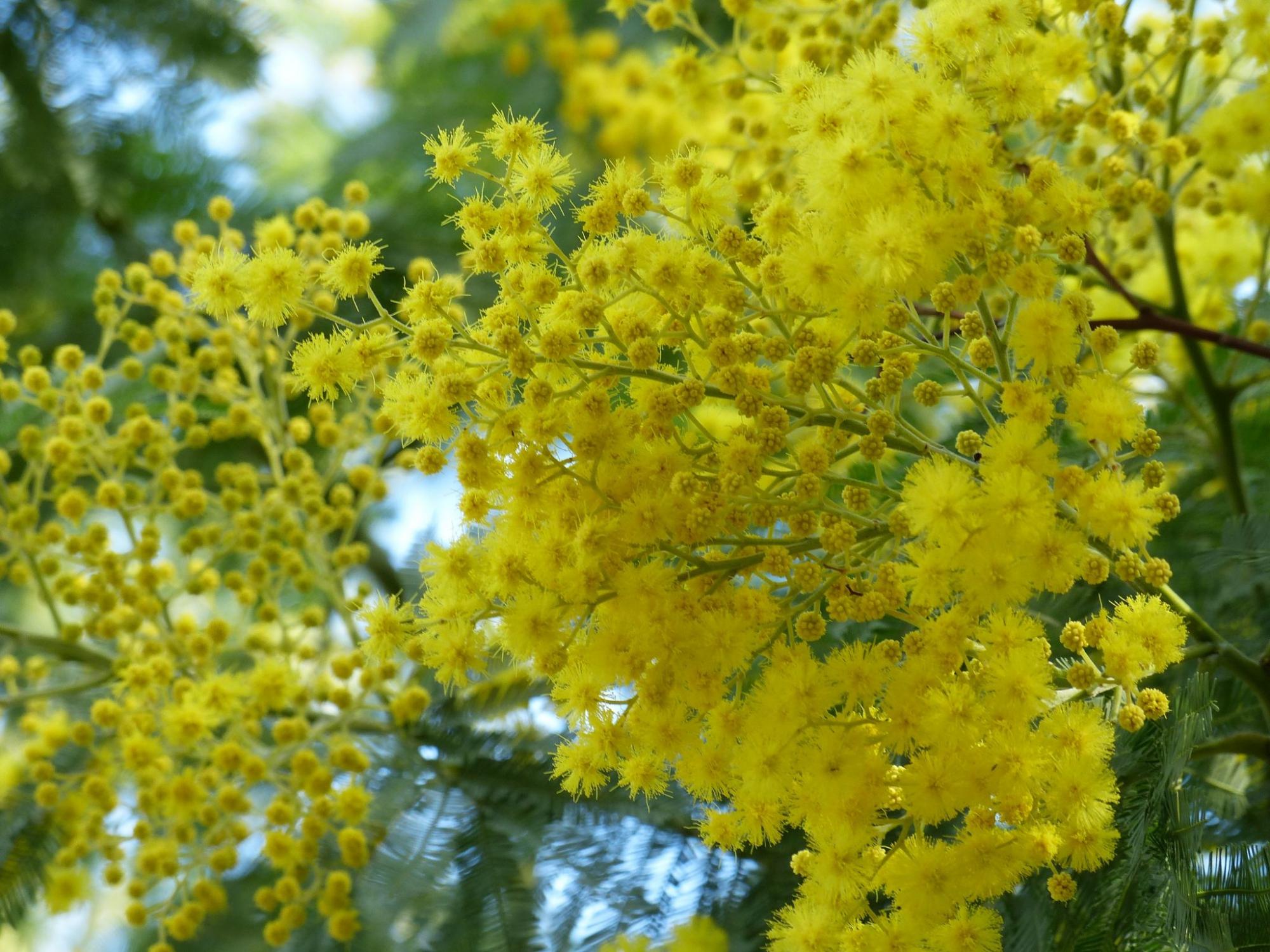 Du mimosa à foison pour ce beau coin de Provence historique.